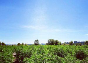 blue sky over a hemp farm