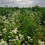 buckwheat and Hemp Farm